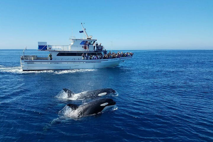 Orca Whales jumping next to cruise ship