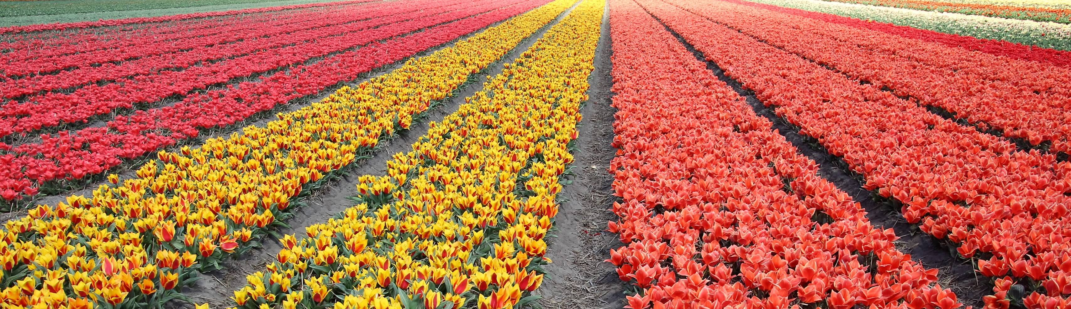History of Dutch tulips