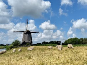 Sheep in a field in front of a windmill