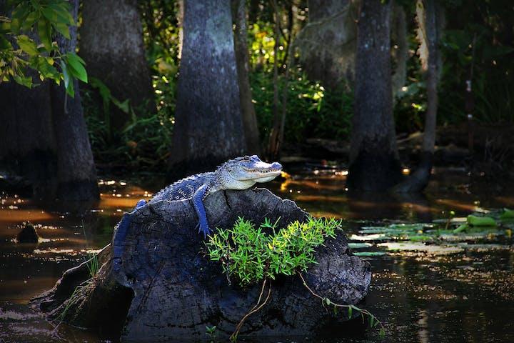 An alligator on a log