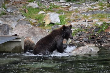 a bear eating a fish