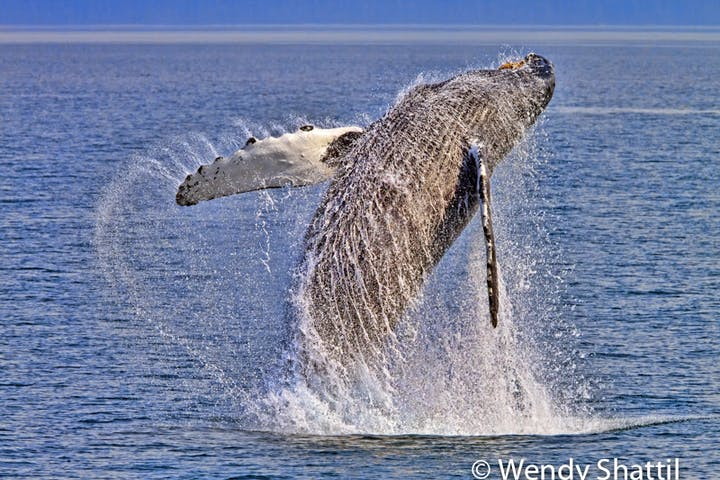 a whale jumping