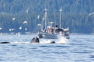 MV Westward and humpback whales feeding