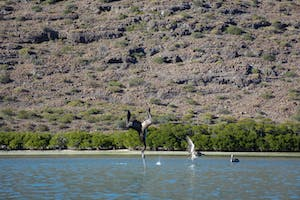 diving pelicans in the Sea of Cortez