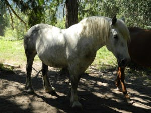 Sky, a white female horse, playing near trees