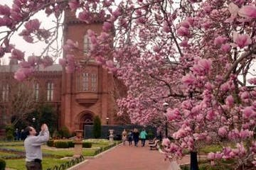 Cherry blossoms in front of the Smithsonian