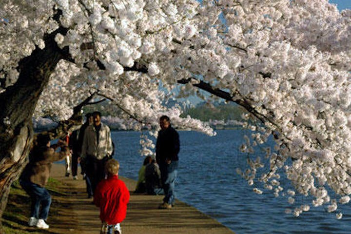Cherry Blossoms shading the path along the basin