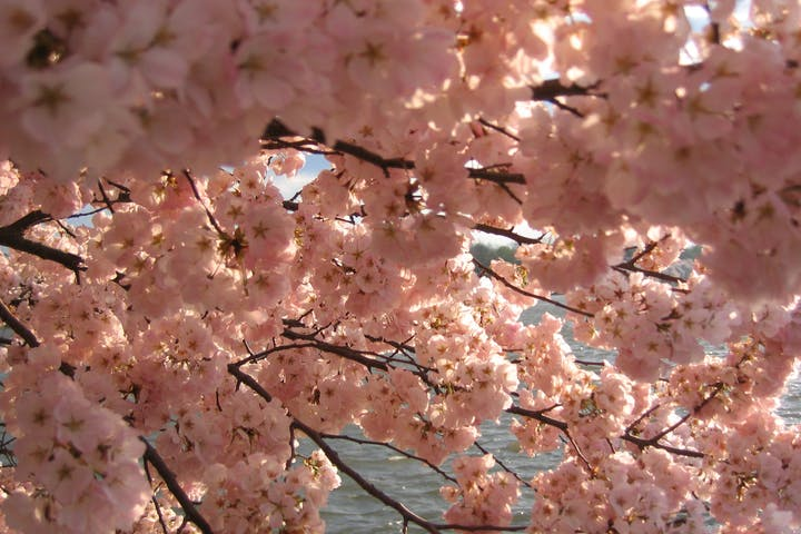 Pink Cherry Blossoms in front of the Tidal Basin