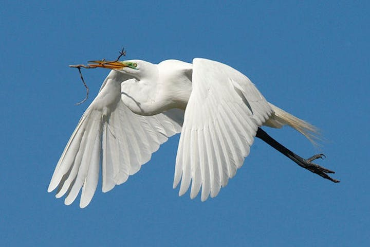 An egret flying with a twig in its beak
