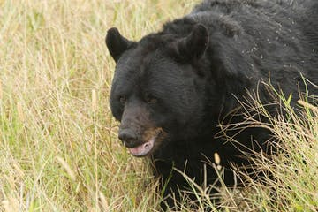 Black Bear Outer Banks
