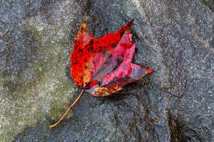 Red Leaf in the rain