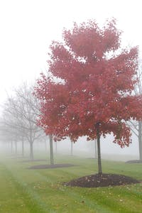 Red Maple in the fog