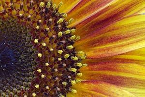 a close up of a sunflower