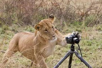 a lion playing with a camera on a tripod