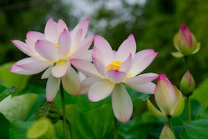 Life Cycle of a Lotus Blossom