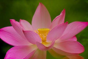 Pink Lotus Blossom at Kenilworth Aquatic Gardens