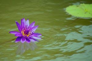 Water Lily at Kenilworth Aquatic Gardens