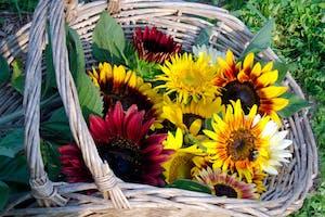 Burnside Farms Sunflowers