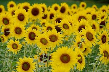 Sunflowers at Burnside Farms