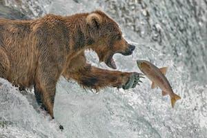 a brown bear catching a salmon