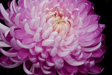 Incurve Chrysanthemum