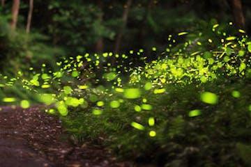 Meditativer Abendspaziergang in der Stille der Natur mit zauberhaft lichtvollen Momenten: die Glühwürmchen sind besonders gut in der Abenddämmerung zu entdecken.