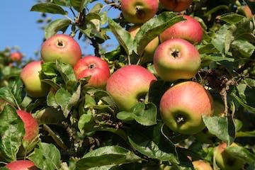 Wanderung als Rundtour durch die Streuobstwiesen Wiesbadens Dörfer zu alten und lokalen Apfelsorten. Pomologie direkt vor der Haustür – und Wissenswertes über Apfelsorten für Allergiker und welcher Apfelsaft wirklich gesund ist.