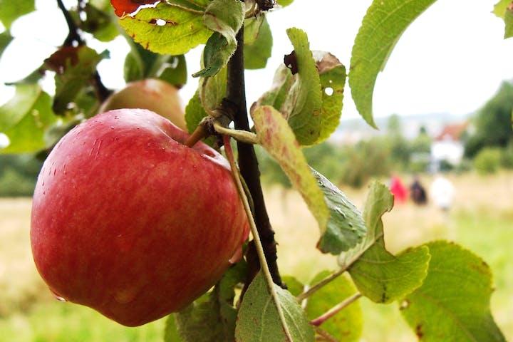 Eine Apfel an einem Baum