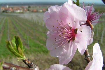 Eine Wanderung in Rheinland-Pfalz mit faszinierenden Ausblicken auf abwechslungsreiche Weinlandschaften und rosafarbene Mandelblüten lässt Sie Interessantes und Spannendes zum frühesten Frühling des Jahres und den Früchten der Bäume erfahren.