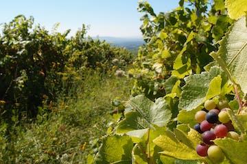 Trauben und Weinreben