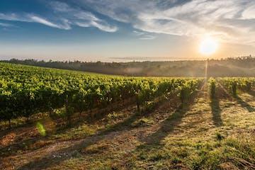 Vineyard next to Florence