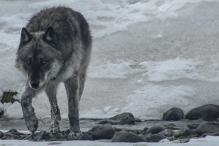 Wolf walking across river in winter