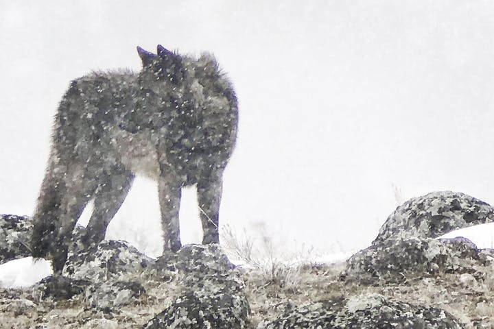 Lone wolf standing on ledge in the snow