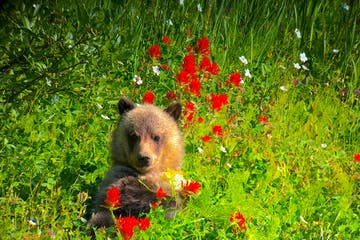 grizzly cub in the summer