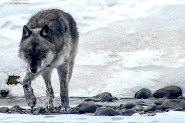 wolf crossing water in winter