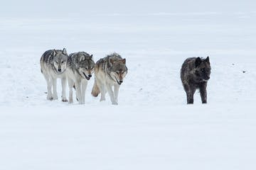 a wolf walking on a snow covered field