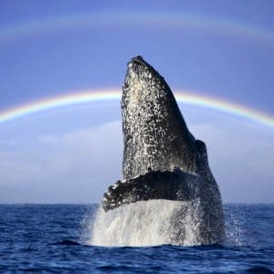 Whale in front of Rainbow
