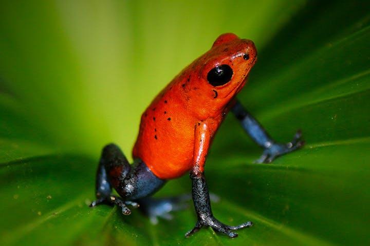 Blue jeans red frog on a leaf