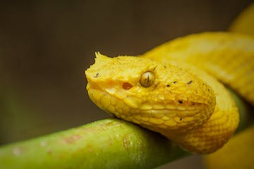 yellow snake on a vine