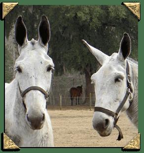 palmetto mules