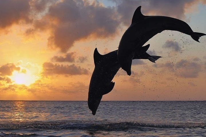 dolphins jumping at sunset