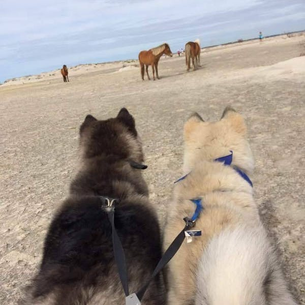 dogs on beach with wild horses