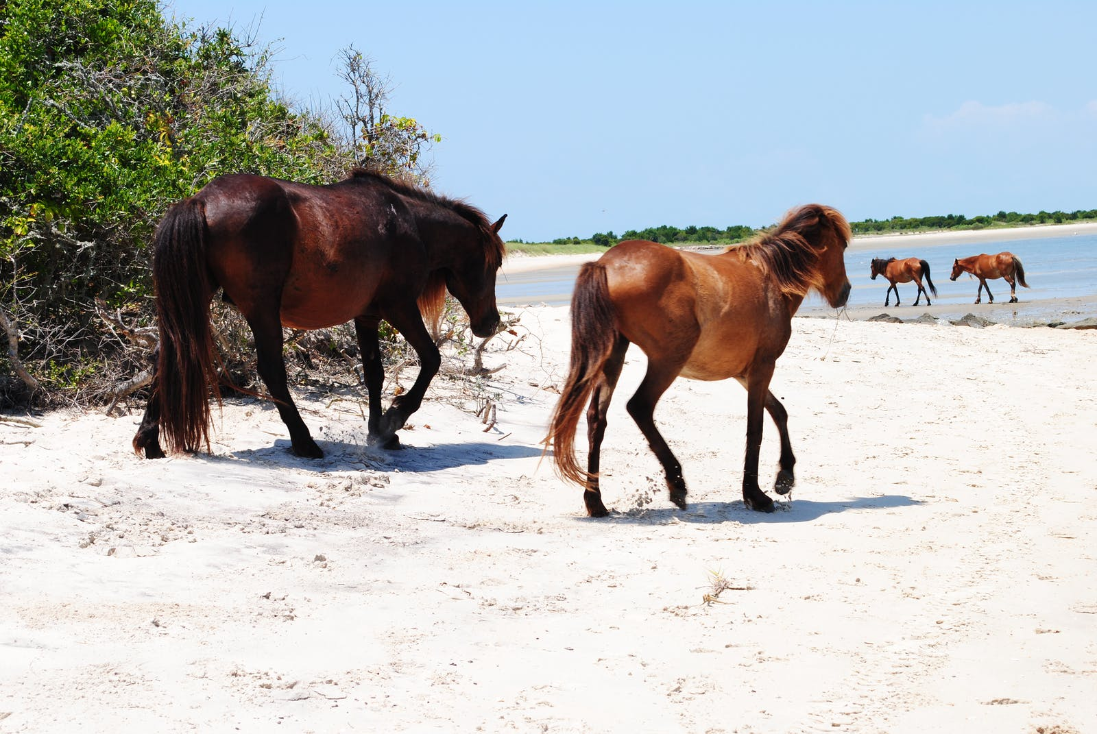 wild horse on shackleford banks