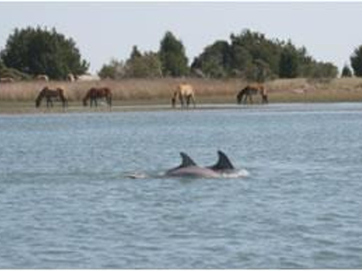 dolphins and wild horses
