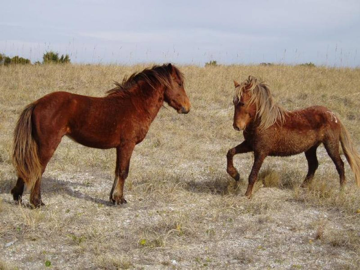 wild horses playing