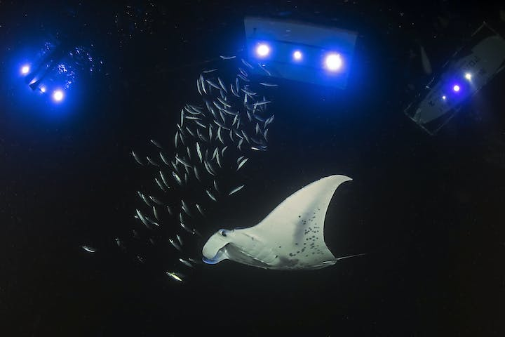 manta swimming through water