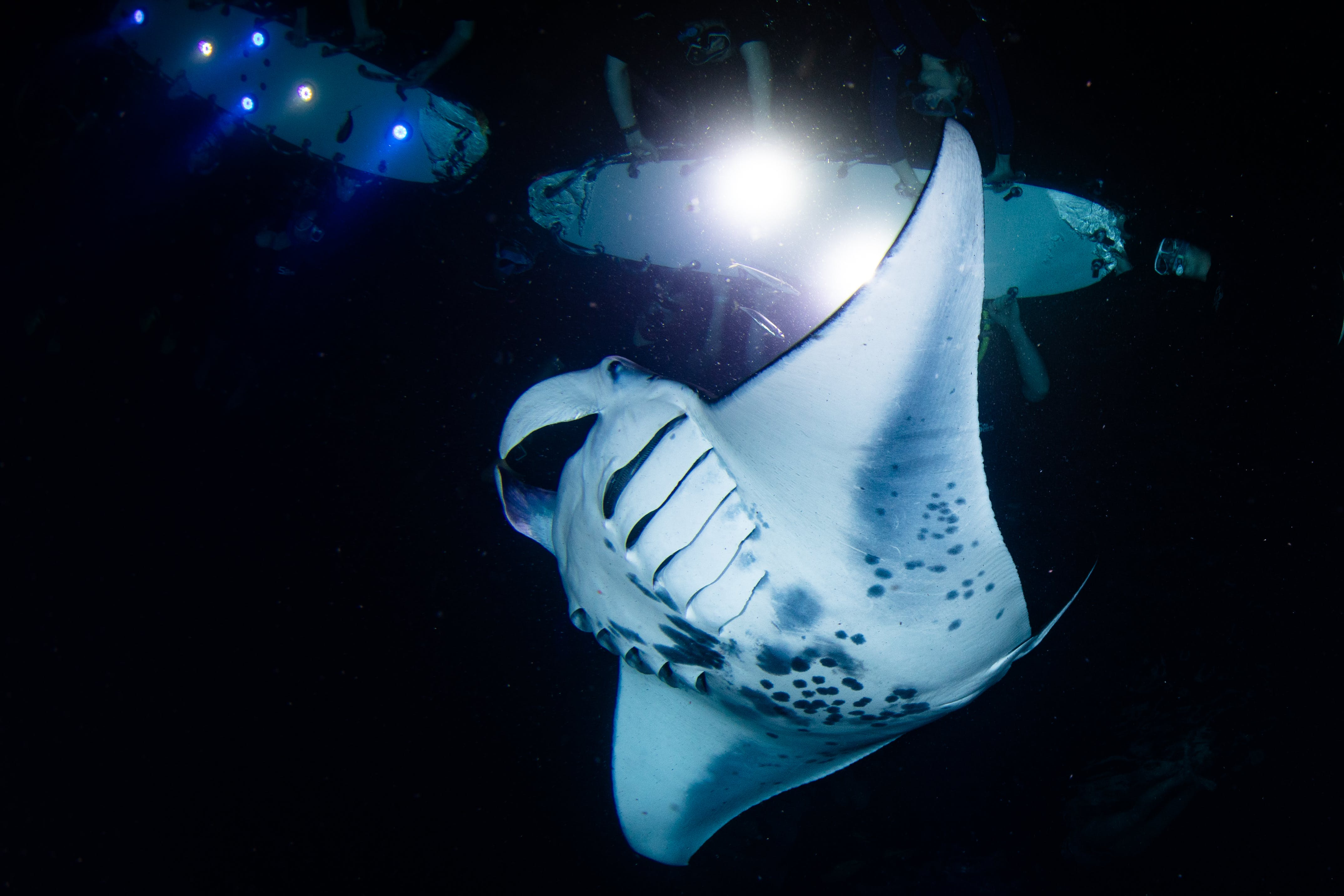 manta ray swimming at night