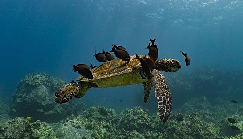 Sea Turtles In Kona Hawaii