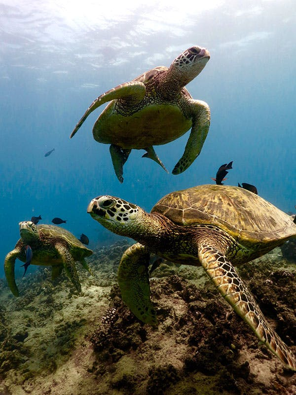 three Hawaiian green sea turtles together underwater