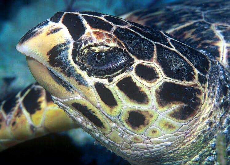 Kona turtle Beach 2